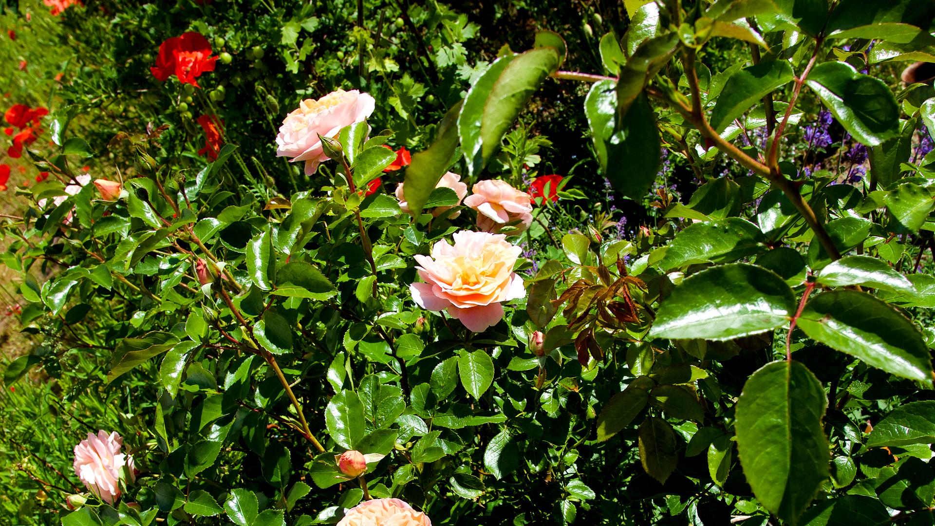Sider_rose