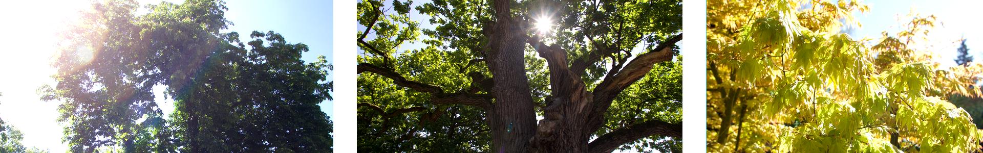 Triplet_Bäume