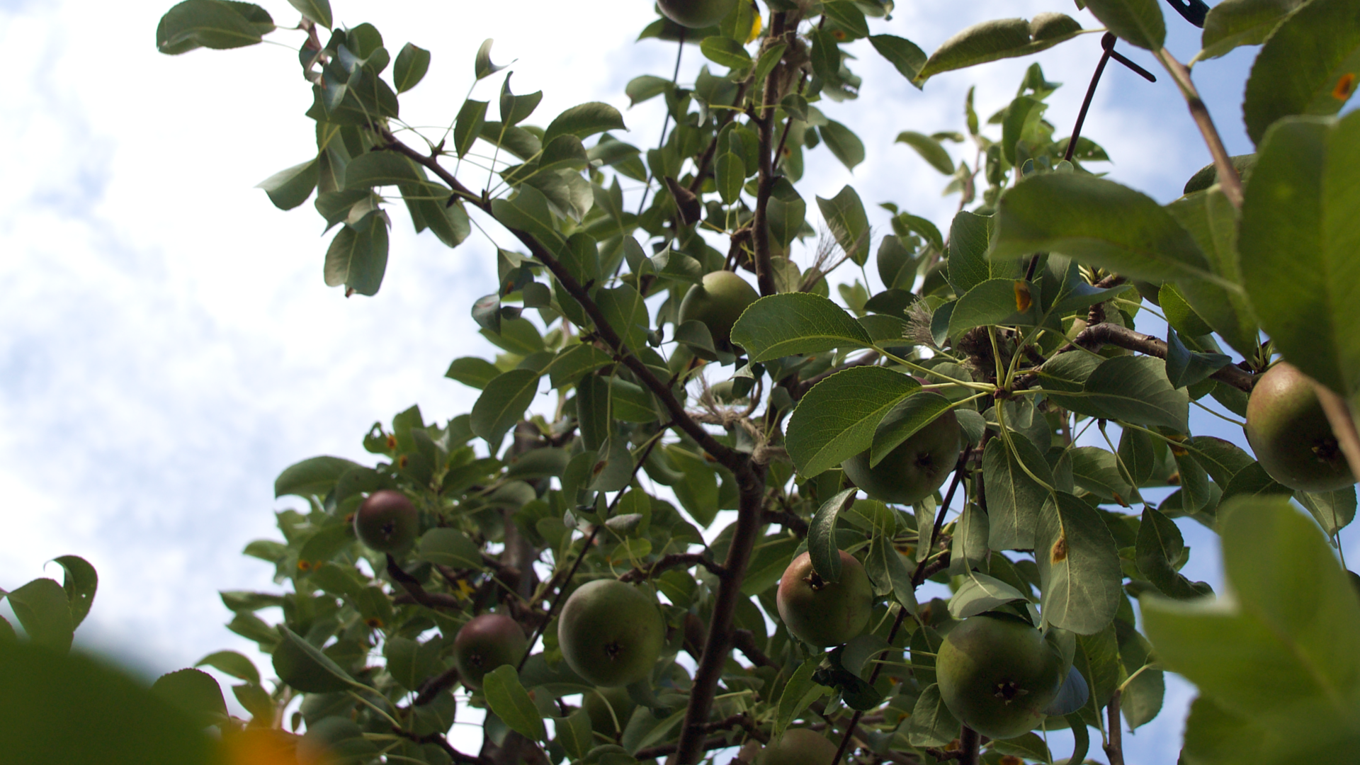 Sider_Obstbäume-Birnen